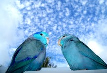 A pair of Parrotlet Birds  sitting on the window sill looking out a window against a blue and cloud filled sky.