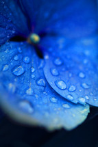 Close up of blue flower with morning dew on the petals.