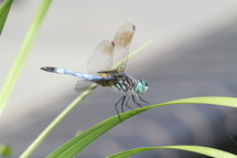Close up of dragon fly on a blade of grass.