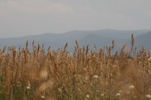 Wheat field with mountains in the background.