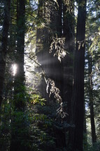 sunlight peeking through a forest of giant trees
