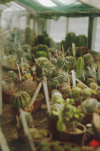 potted cactus growing in a greenhouse