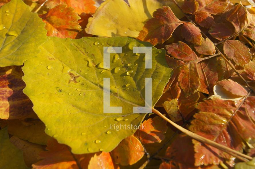 leaves with dew. Autumn, fall, season, harvest.