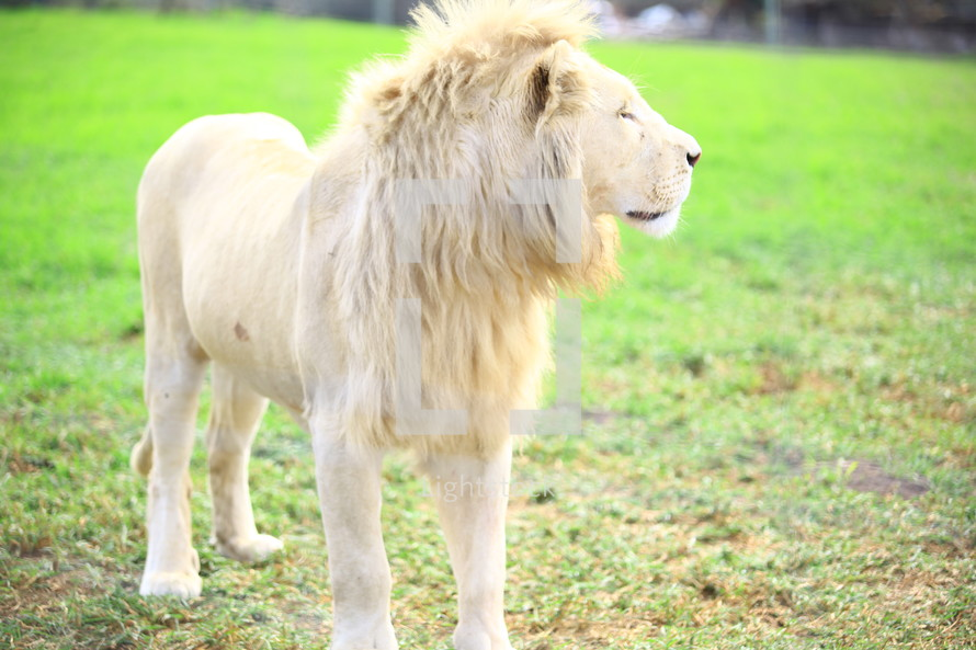 Lion standing in grass looking to the side.