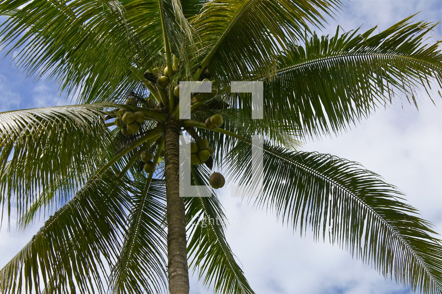 Coconut falling from Palm tree