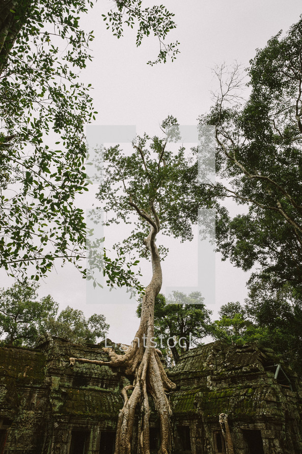 tree roots growing on temple ruins in Cambodia