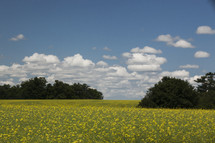 Field of yellow wildflowers with clouds in the sky.