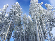 tops of trees in a winter forest