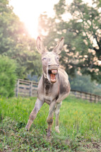 a donkey showing his teeth