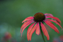 Cone flower, Daisy, nature, garden, pink, orange, salmon, creation, flower,