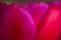 fuchsia petals background