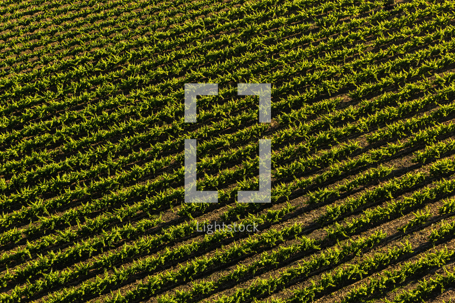 Vineyard rows from above