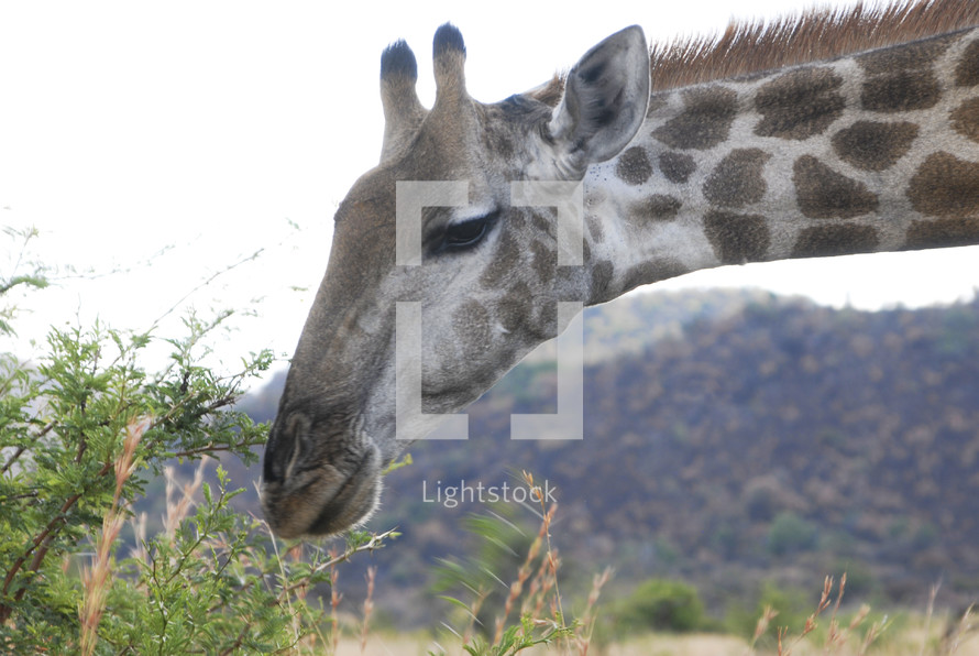 giraffe eating from the top of an acacia thorn tree