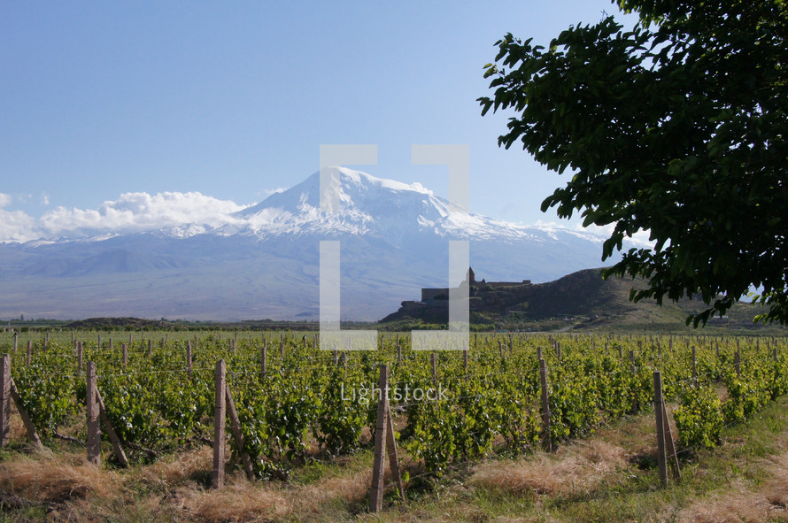 Vineyard with Mt Ararat background