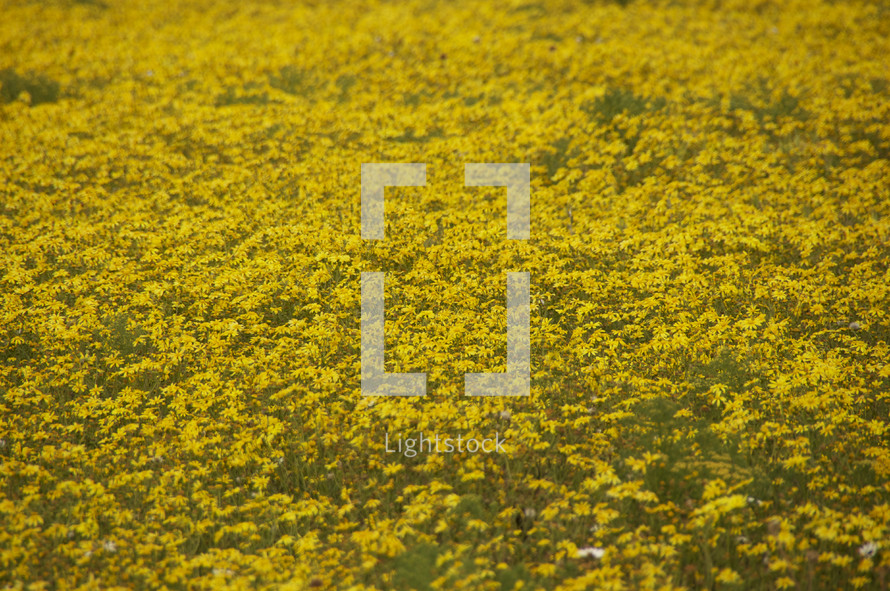 A field of thousands of yellow flowers