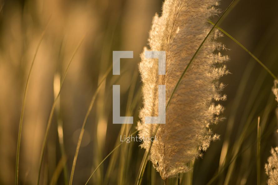 Plume grass in field.