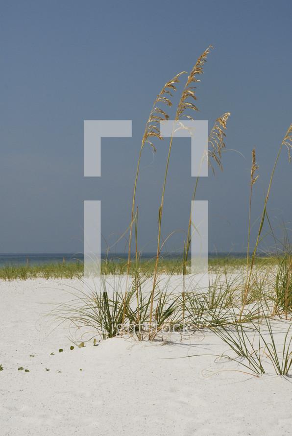 beach -  grass - sea oats