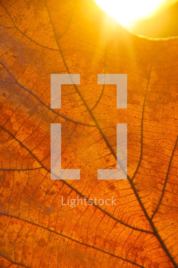 Sunset light behind autumn leaf