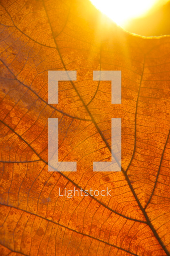 Sunset light behind autumn leaf