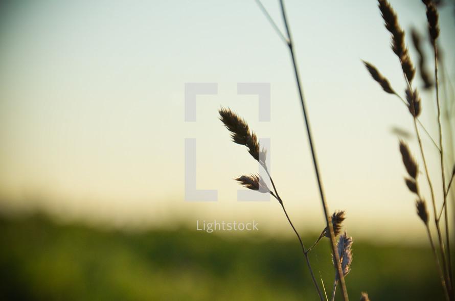 Dry wheat plants