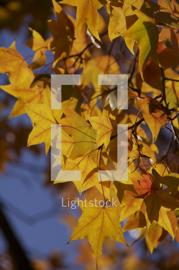 Fall leaves. Season, orange, change, tree.