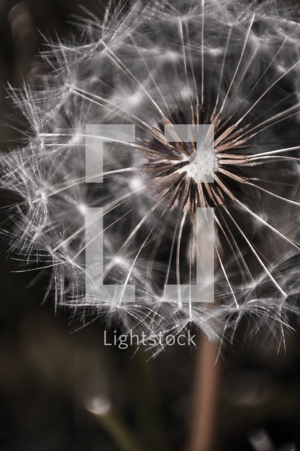 A close up of a dandelion seed head