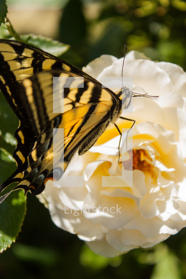 Butterfly on a camellia flower