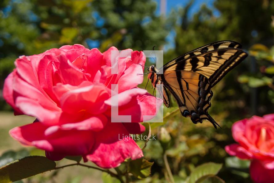 butterfly on an open rose