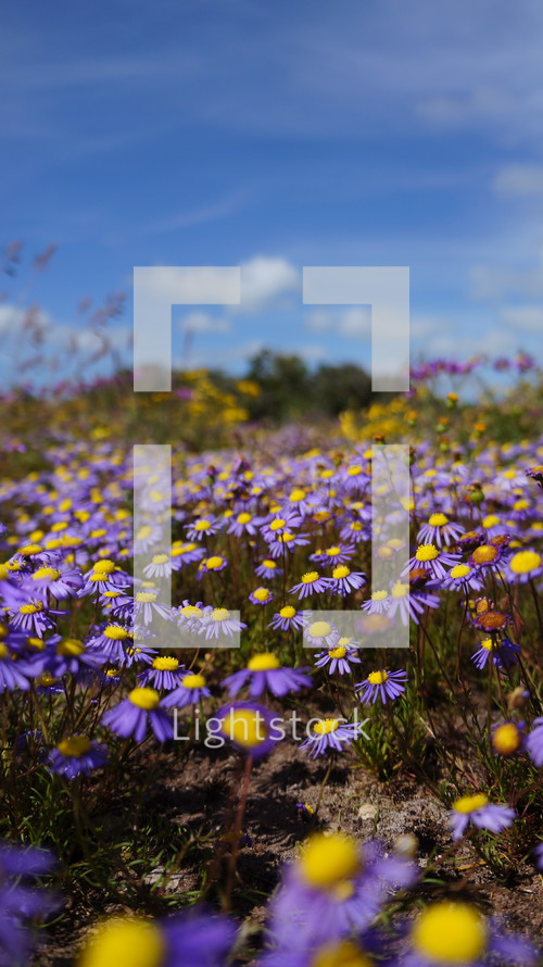 Field of purple daisies with yellow centers on hillside with blue sky.