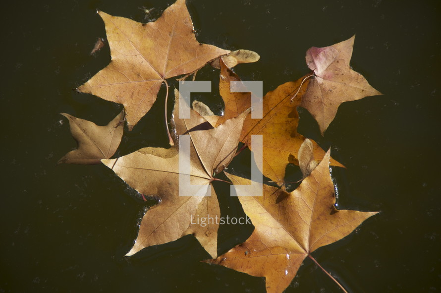 Fall leaves in water. Autum, season, brown.