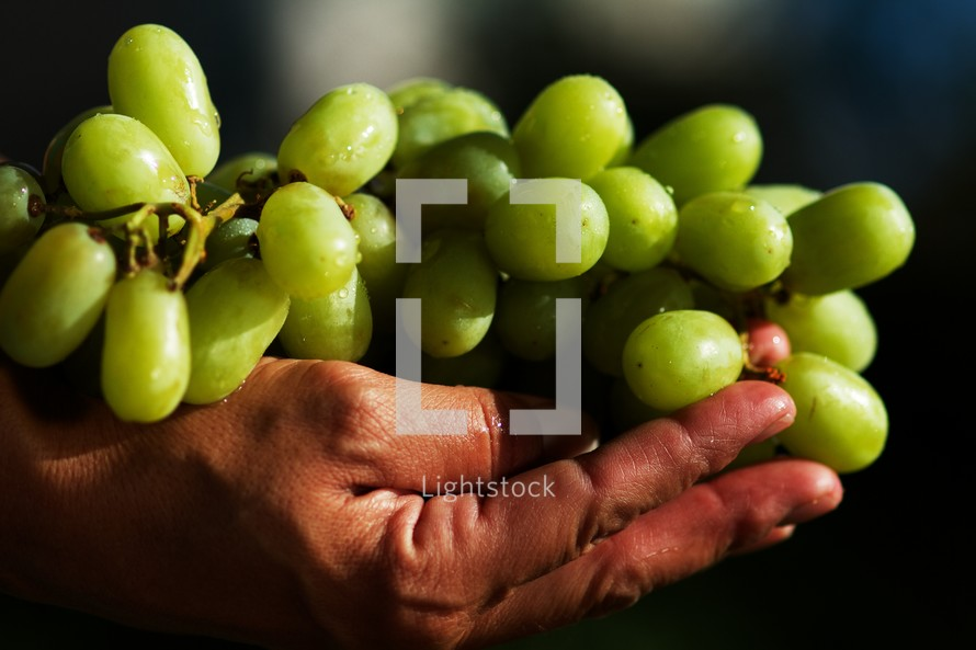 Green grapes being lifted upward - resting in hands