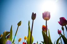 sunlight shining on tulips