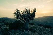 Single tree on a hillside at sunrise in the Middle East.