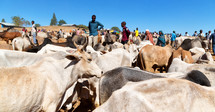 cattle and ranchers in Ethiopia