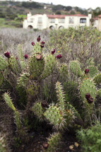 blooming prickly pear cactus