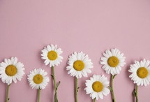 border of daisies on pink background.