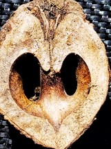 center of a nut
