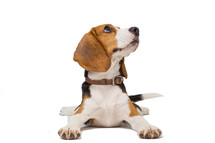 a beagle dog on a white background looking up