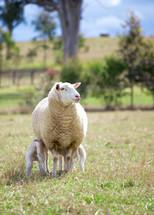 sheep and nursing lambs