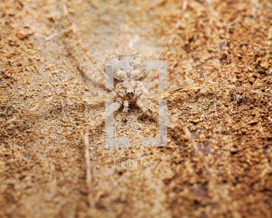 twin tailed spider