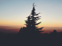 silhouette of a spruce tree