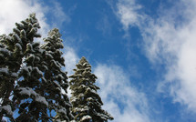 snow covered pine tree tops