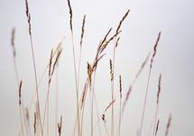 Tall wheat grass.