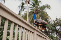 peacock on a railing