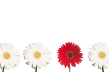 white and red gerber daisies in a row