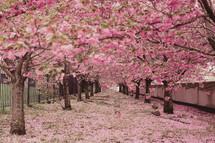 Umbrella of pink flowering crabapple trees.