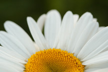 petals on a white daisy