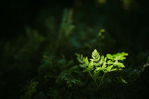 sunlight shining on a green fern on a forest floor