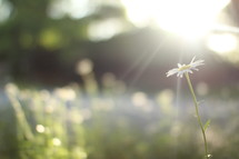 sunlight on daisies