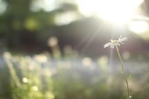 sunlight on daisies
